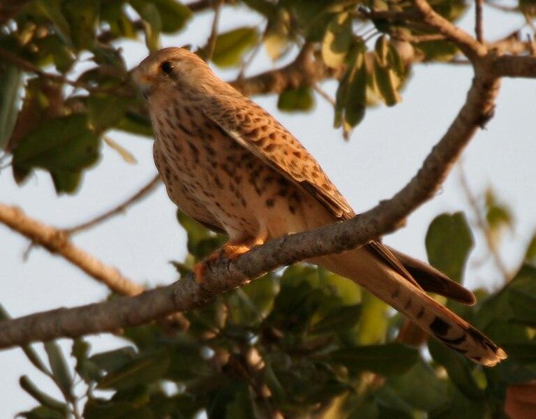 Common Kestrel (Falco tinnunculus) in Kinnarsani WS, AP W IMG 6037