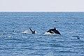 Common dolphins (29159724115).jpg