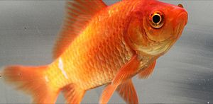 English: An image of a Common goldfish