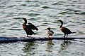 Common merganser and double-crested cormorant (36322837122).jpg