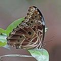 Common striped (Deidamia) morpho (Morpho deidamia) underside.jpg