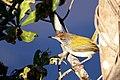 Common tailorbird (Orthotomus sutorius) (23470561125).jpg