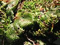 Conocephalum conicum.jpeg