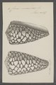 Conus marmoreus - - Print - Iconographia Zoologica - Special Collections University of Amsterdam - UBAINV0274 086 01 0005.tif