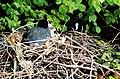 Coot-nesting-River-Ver-20050508-003.jpg