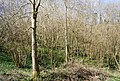 Coppiced woodland on the Greensand escarpment - geograph.org.uk - 1205487.jpg