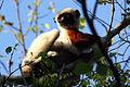 Coquerel's sifaka lemur propithecus coquereli.jpg
