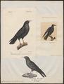 Coracias graculus - 1700-1880 - Print - Iconographia Zoologica - Special Collections University of Amsterdam - UBA01 IZ15700103.tif
