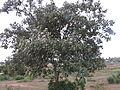 Cordia macleodii - tree.JPG