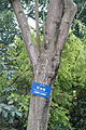 Cornus controversa (Bothrocaryum controversum) - Chengdu Botanical Garden - Chengdu, China - DSC03590.JPG