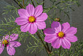 Cosmos bipinnatus pink, Burdwan, West Bengal, India 31 01 2013.jpg