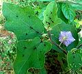 Costa Rica Nightshade (Solanum wendlandii) at Kambalakonda 05.JPG
