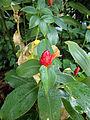 Costus woodsonii.JPG