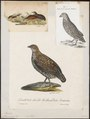Coturnix australis - 1700-1880 - Print - Iconographia Zoologica - Special Collections University of Amsterdam - UBA01 IZ17100129.tif