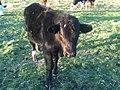 Cow, Bos Taurus, Country Victoria (Australia).JPG