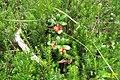 Cowberries, Heiterwanger See (15788915875).jpg
