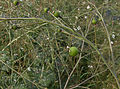 Crambe cordifolia fruit.jpg