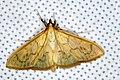 Crambid Moth (Epicorsia sp.) (8371245632).jpg