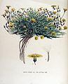 Crepis virens — Flora Batava — Volume v15.jpg