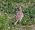 Crested Lark (Galerida cristata) at Sultanpur I Picture 100.jpg