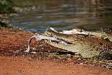 5798383e5ef71 Drunken man is surprised crocodile bit him - Wikinews