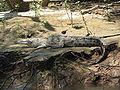 Crocodylus Acutus - Cañón del Sumidero (closeup).JPG