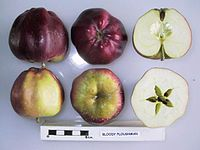 Cross section of Bloody Ploughman, National Fruit Collection (acc. 1962-042).jpg