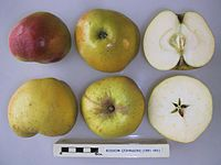 Cross section of Bossom (Johnson), National Fruit Collection (acc. 1991-001).jpg