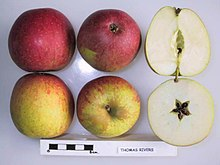 Cross section of the Thomas Rivers apple, National Fruit Collection Cross section of Thomas Rivers, National Fruit Collection (acc. 1957-230).jpg