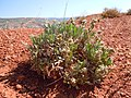 Cryptantha cana — Matt Lavin 002.jpg
