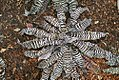 Cryptanthus zonatus Zebrinus 0zz.jpg
