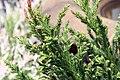 Cryptomeria japonica Black Dragon 7zz.jpg