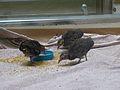 Crypturellus tataupa - Parc des oiseaux 02.JPG