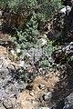 Cupressus nevadensis Hobo Ridge Grove (18) - Flickr - theforestprimeval.jpg
