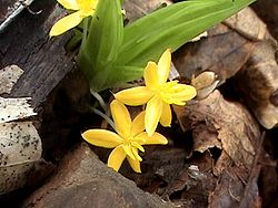 Curculigo orchioides.jpg