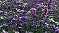 Curico, flores (12646507953).jpg
