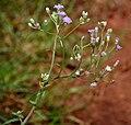 Cyanthillium cinereum (Ash Fleabane) W IMG 2851.jpg