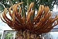 Cycas circinalis 2zz.jpg