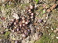 Cyclamen hederifolium pods & seeds.jpg