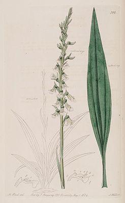 "Cyclopogon bicolor, Illustration aus ""The Botanical Register"""