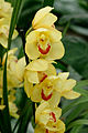 Cymbidium Gwynne 1001 Orchids n02.jpg