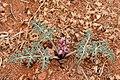 Cymopterus multinervatus - Flickr - aspidoscelis (4).jpg