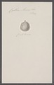 Cynthia momus - - Print - Iconographia Zoologica - Special Collections University of Amsterdam - UBAINV0274 092 01 0032.tif