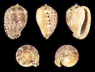 <i>Cypraecassis testiculus</i> species of mollusc