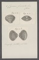 Cyrena fuscata - - Print - Iconographia Zoologica - Special Collections University of Amsterdam - UBAINV0274 078 05 0002.tif