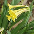 Cyrtanthus flanaganii-IMG 2048.jpg