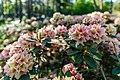 Dülmen, Welte, Rhododendronwald -- 2020 -- 6933.jpg