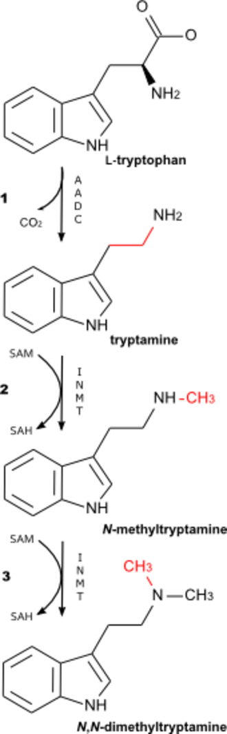 N,N-Dimethyltryptamine - Biosynthetic pathway for N,N-dimethyltryptamine