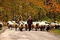 Dağ Koyunları - panoramio.jpg