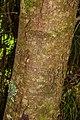 Dacrydium cupressinum in Eastwoodhill Arboretum (1).jpg
